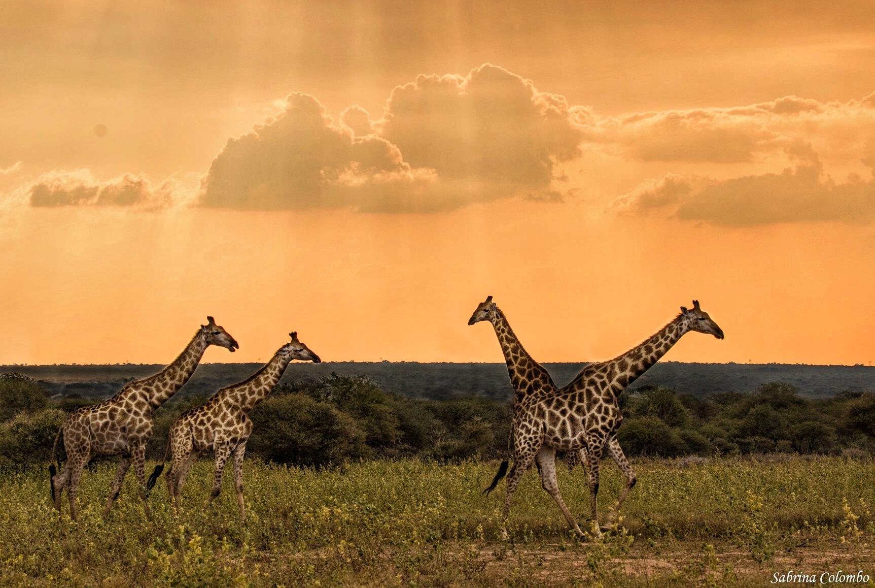 Giraffes Sabrina Colombo