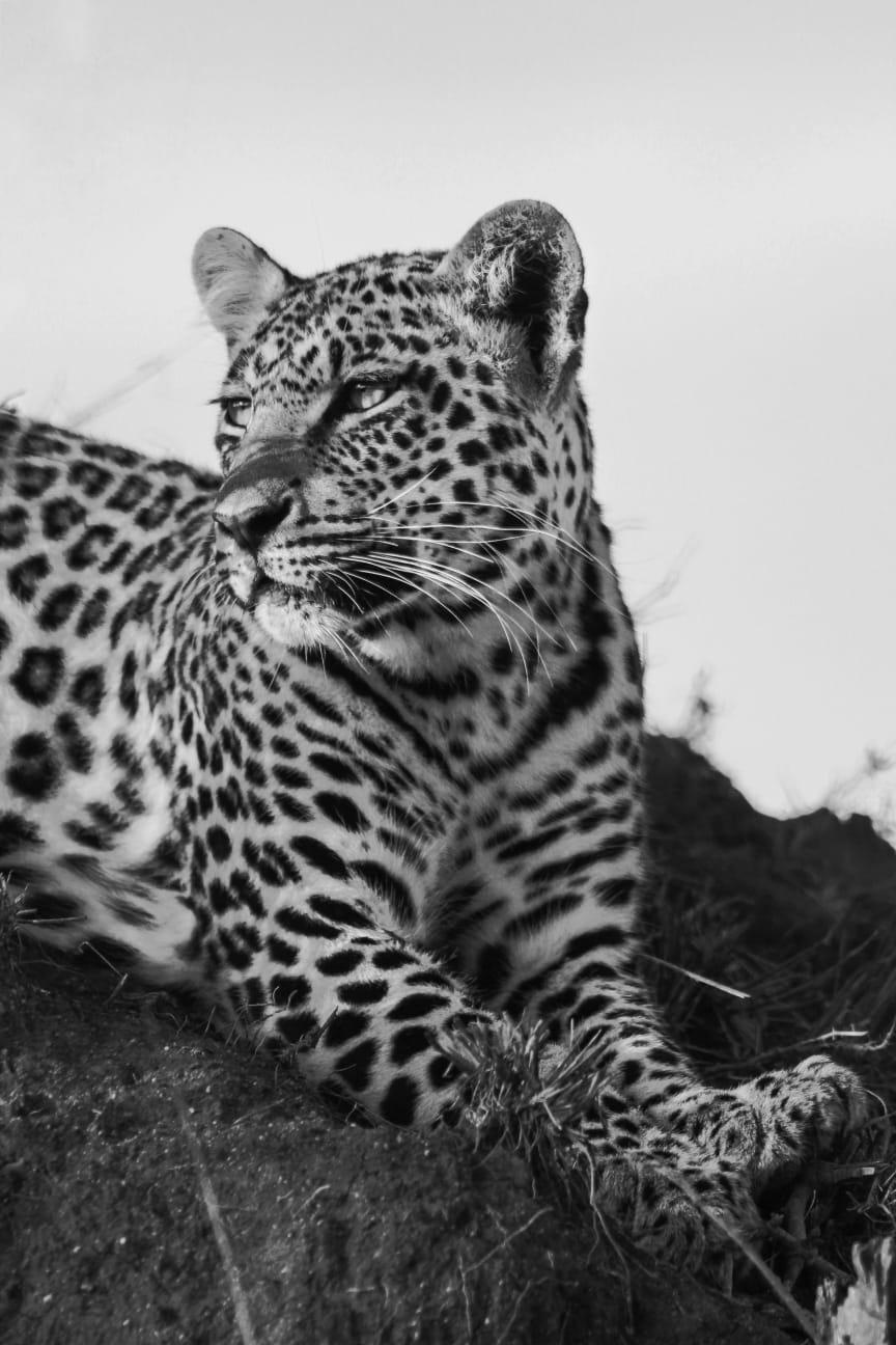 Leopard Sophie Losfeld