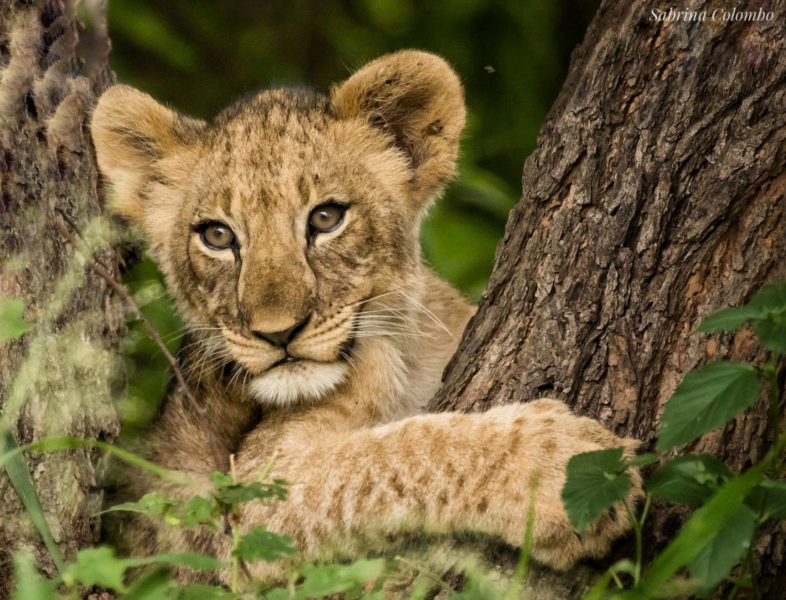 Lion Cub Sabrina Colombo