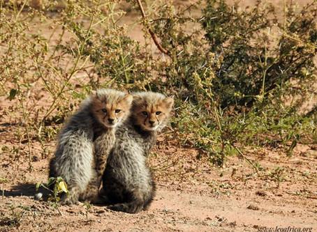 Cheetah cub update