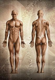 Corpo umano, immagine anatomica, muscoli fronte e retro. Trattamento, Massaggio. Dott. Fabrizio Maffeis