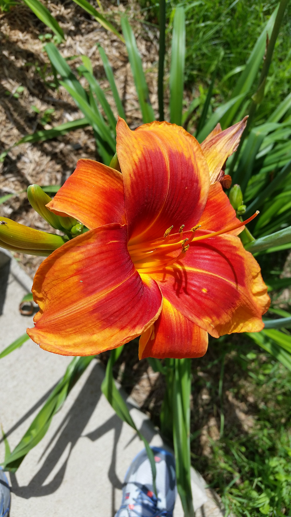 The daylillies in the yard were really nice this year!