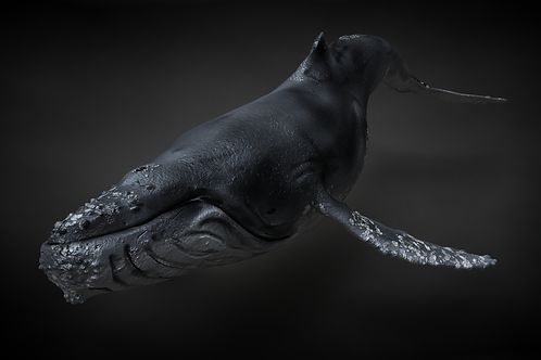 Humpback 3D Model C4D Rigged
