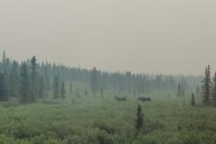 alaska-moose-landscape.jpg