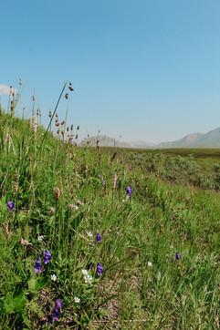 denali-national-park-wild-flowers.jpg