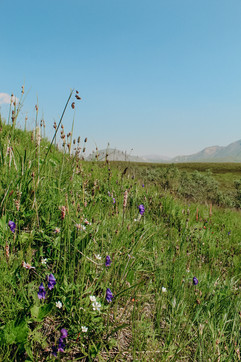 denali-national-park-wild-flowers.jpg