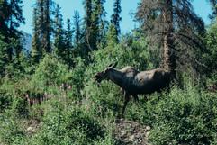denali-national-park-moose-hike-landscape.jpg