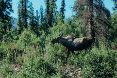 denali-national-park-moose-hike-landscape.jpg