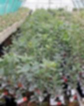 Contrôle qualité des plants truffiers