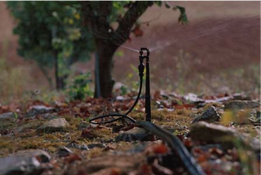 Irrigation d'un plant de chêne truffier