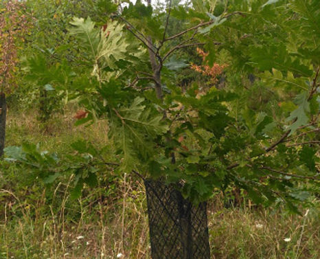 Plant de chêne truffier