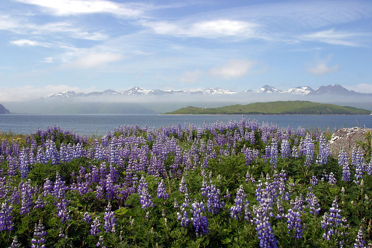 dutch harbor, alaska lupines and mtns