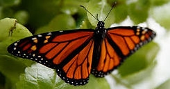 mariposa monarca.jpg