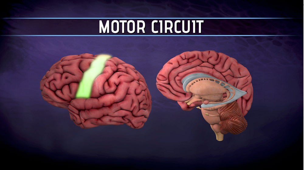 Brain graphic depicting part of the motor circuit