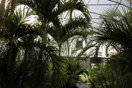 Palm trees in greenhouse