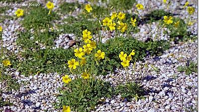 Centaura amarilla_001_Web_Flor.jpg