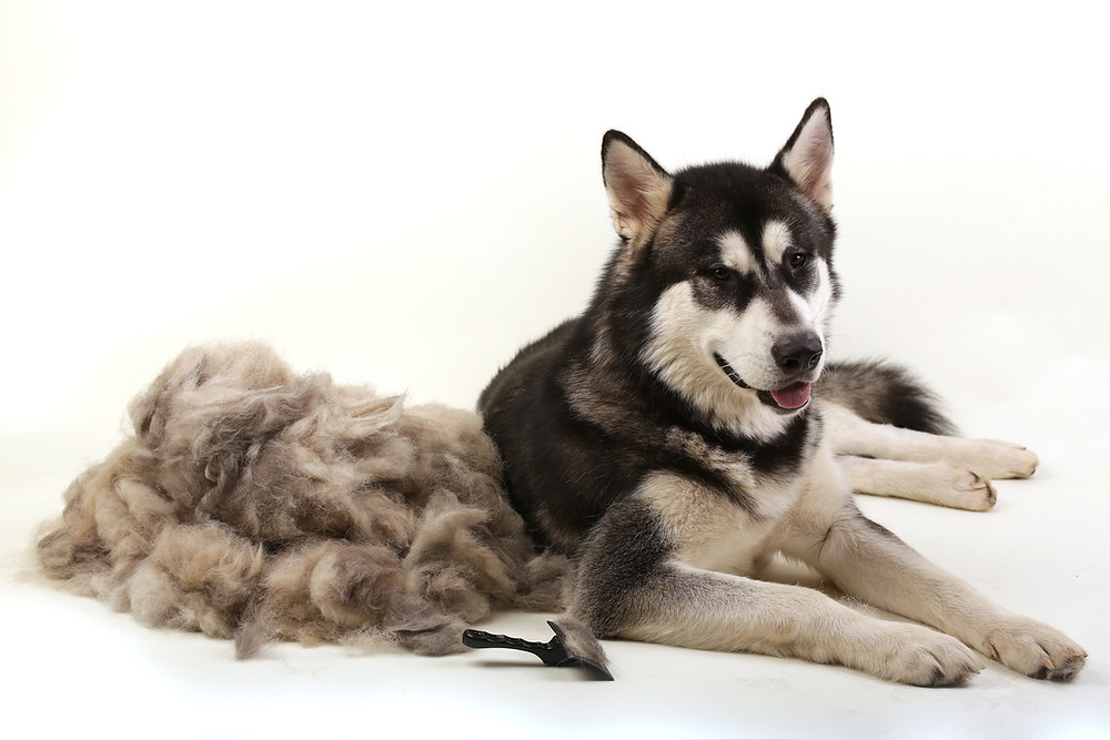 Brushed out Husky