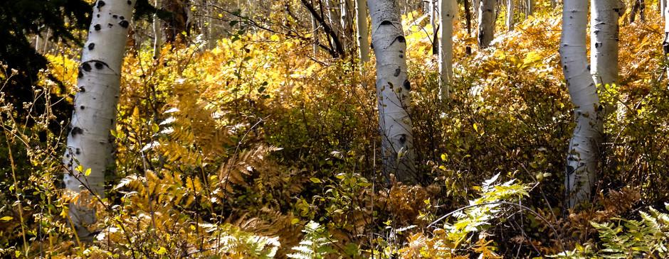 Ferns among the Quakies-3.jpg