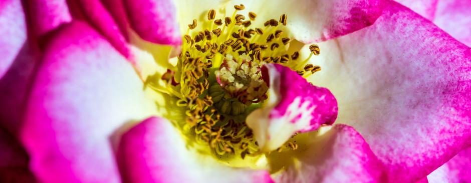 Dwarf Rose-1.jpg