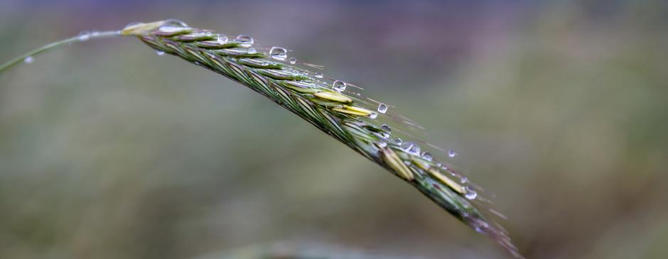 Rain Drops on Grass Seeds.jpg
