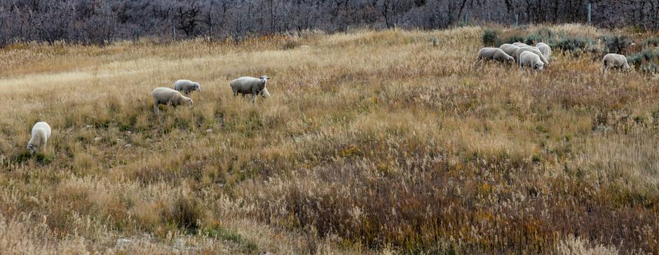 Sheep in the Golden Grass.jpg