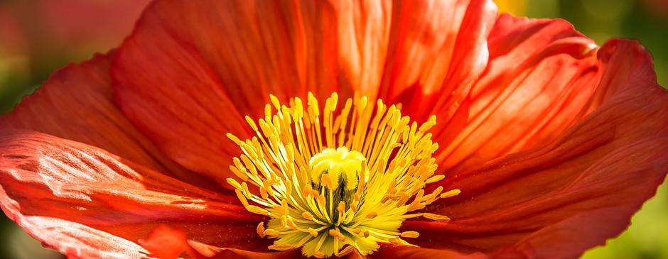 Spring Poppie-3.jpg