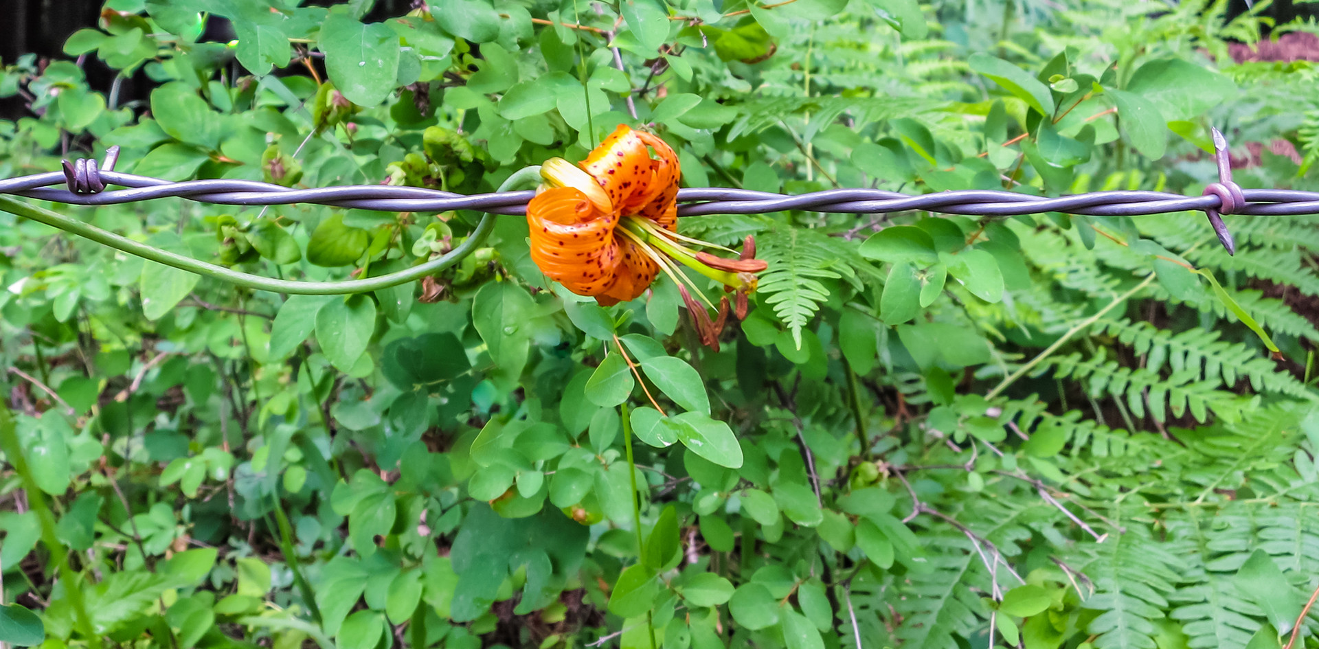 Barbed wire Beauty-1.jpg