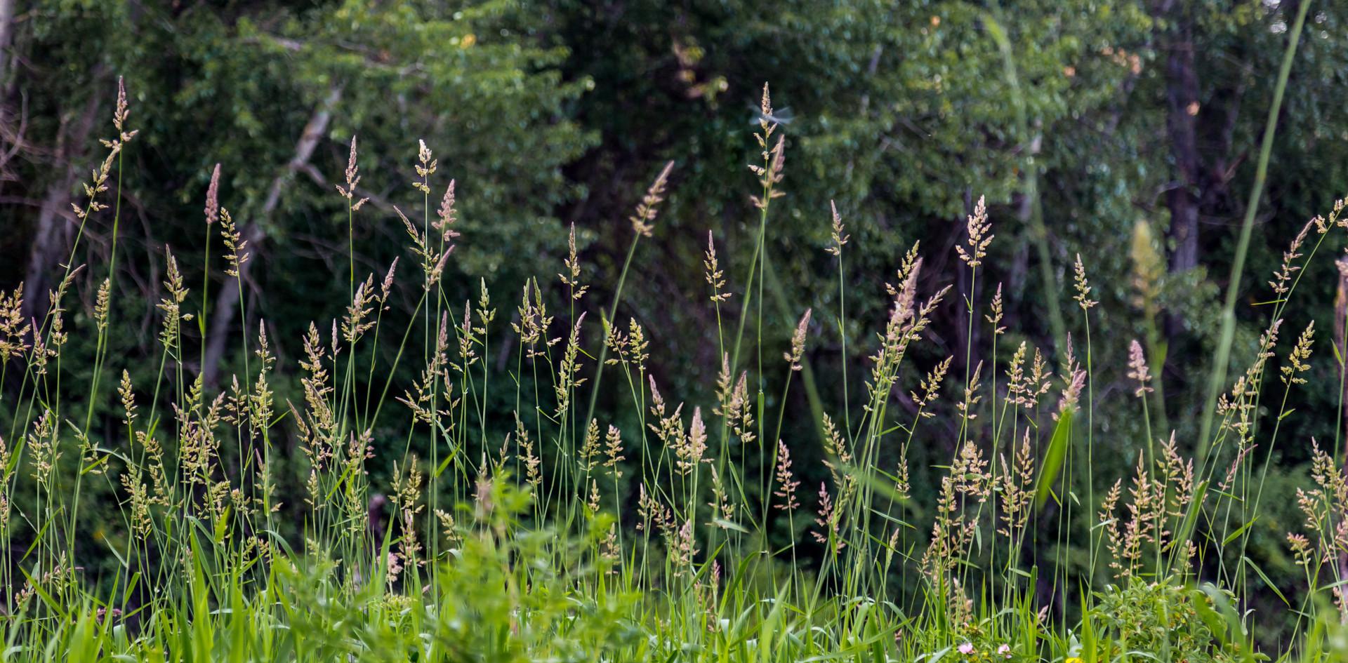 Spring Grasses.jpg