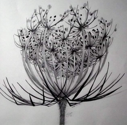 Wild carrot pencil and ink SOLD
