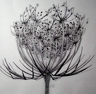 Wild carrot pencil and ink SOLD.png