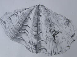 Scallop shell, graphite drawing