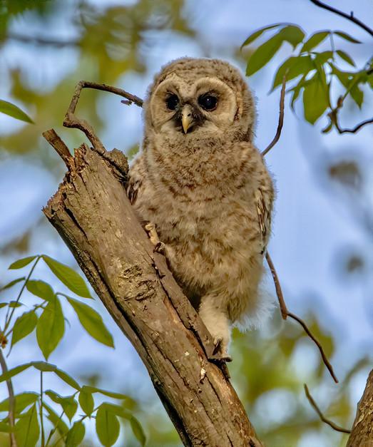 Barred Owl Chick (1).jpg