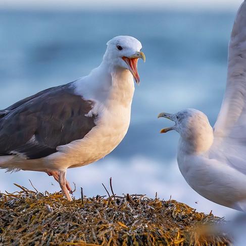 Great Blacked Back Gulls