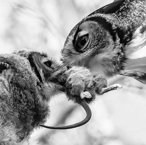 Great horned owl feeding (1).jpg