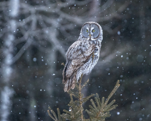 Great%2520Gray%2520Owl%2520for%2520Websi