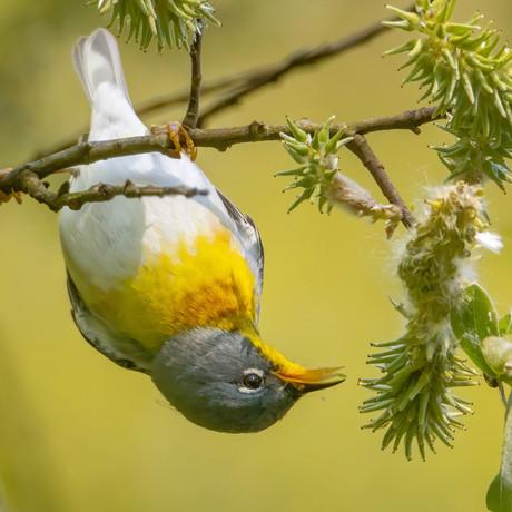 Northern Parula Warbler (2).jpg