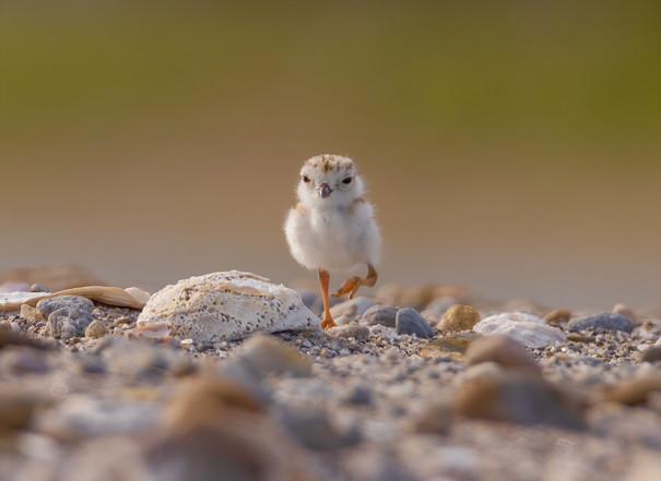 Piping Plover Chick (1).jpg