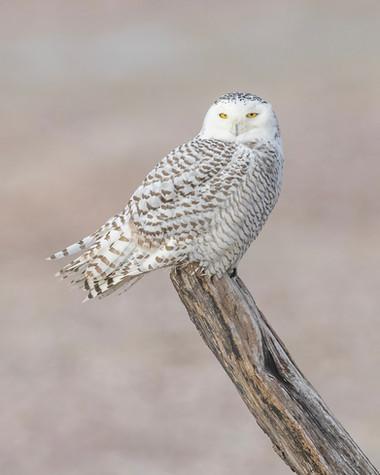 KOECK_Snowy Owl Nominate 2.JPG