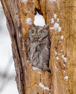 Eastern Screech Owl Surprised.jpg