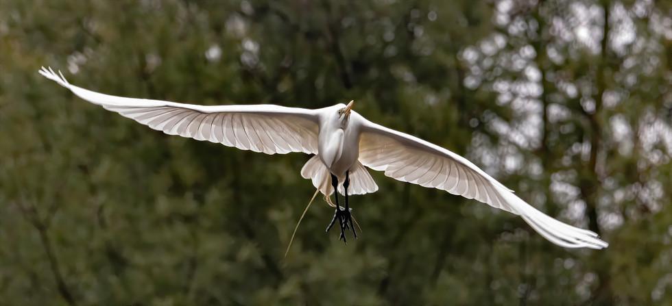 great egret flying (1).jpg