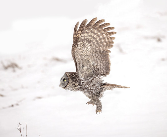 Great Gray Owl Flying – Tomas Koeck .jpg