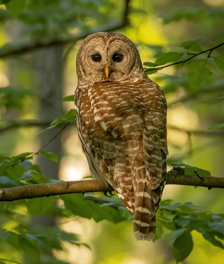 Barred Owl Nominate (1).jpg