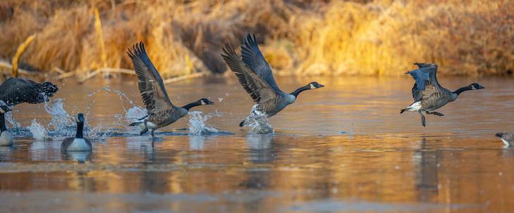KOECK_geese taking off .jpg