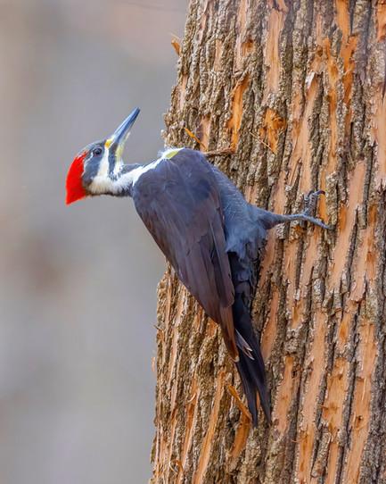 KOECK_pileated woodpecker.JPG