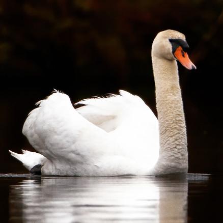 Mute swan (1).jpg