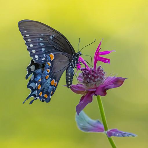 KOECK_ Swallowtail butterfly.JPG