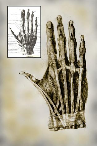 ANATOMY HAND STUDY