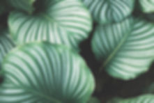 Image depicts large tropical leafs with dark and lighter green stripes.