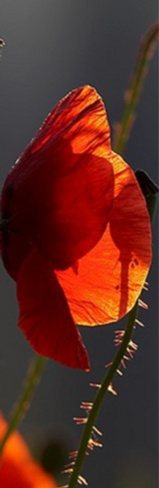 coquelicots-2-transparence-coquelicot-big_edited_edited.png