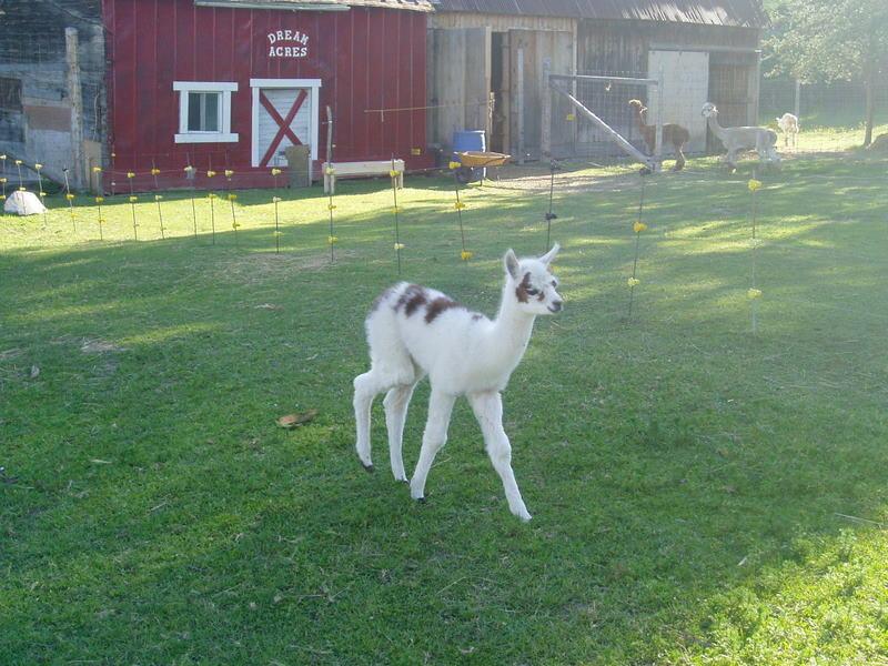Alpaca+Cody+190.jpg